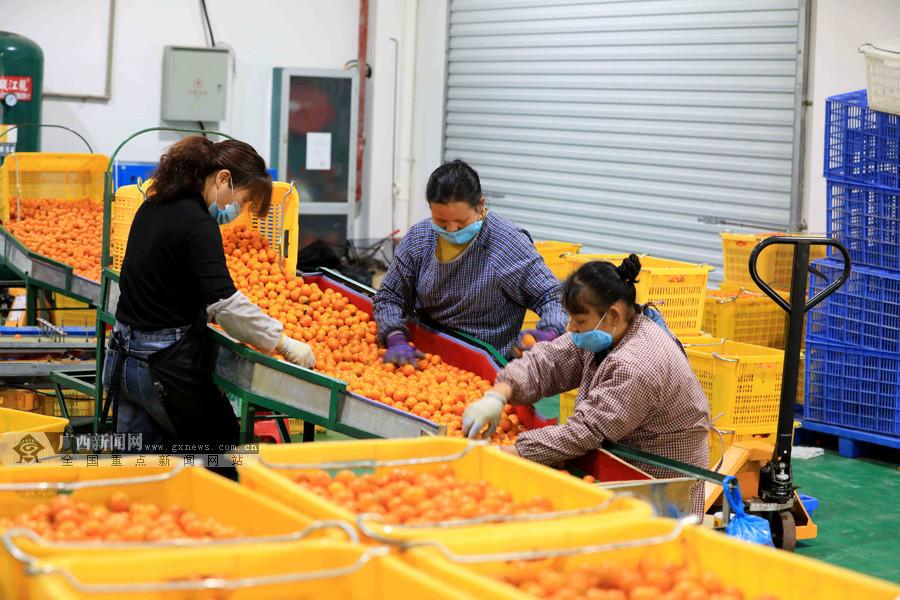 高清人房:广西融安电商发力助桔农增收