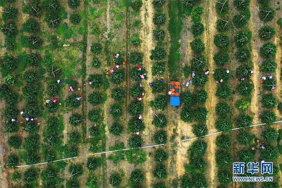 """高清组图:""""中国沃柑之乡""""的果园逐渐繁忙起来"""