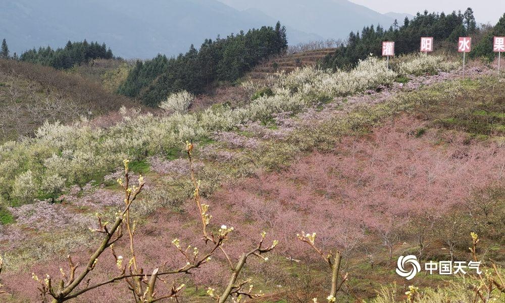 高清组图:桂林灌阳万亩果园花盛开