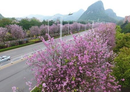 柳州的洋紫荆本月20日或迎盛花期!