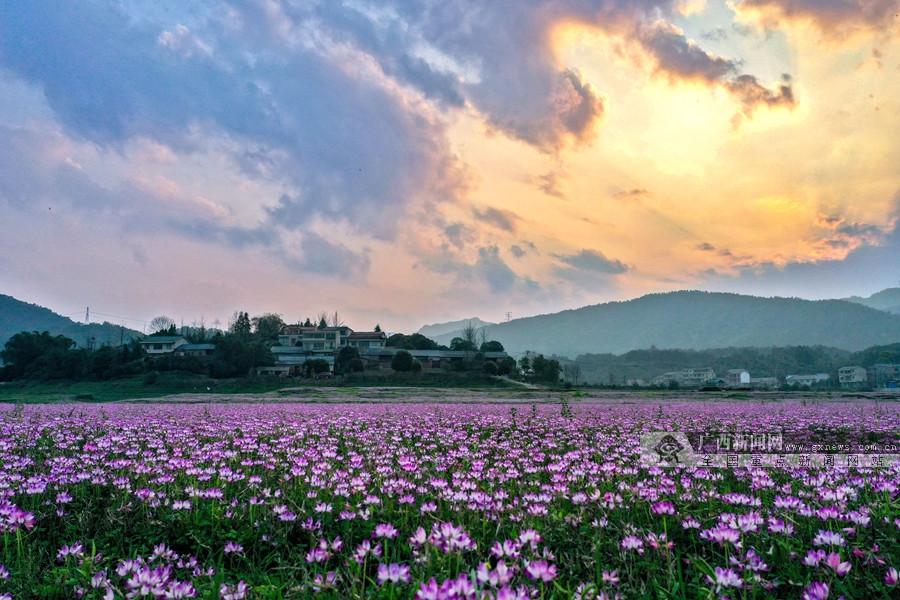高清:春来田野遍地紫!桂林万亩紫云英花开