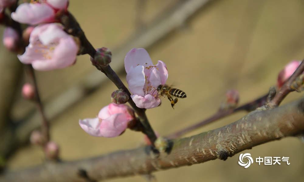 百色隆林春暖桃花开