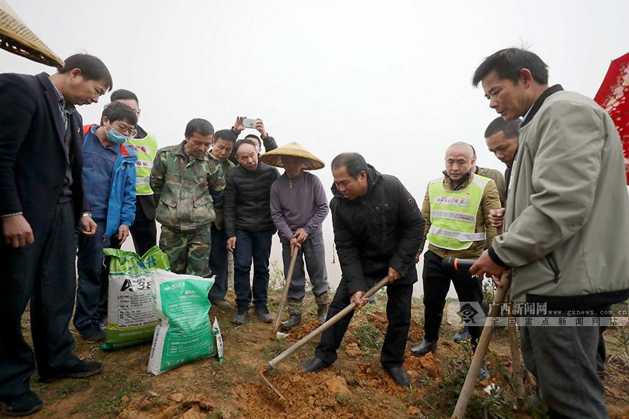 广西三江:油茶地里种玉米 以短养长助脱贫(图)