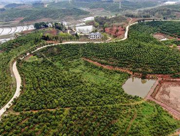 河南光山:油茶富民