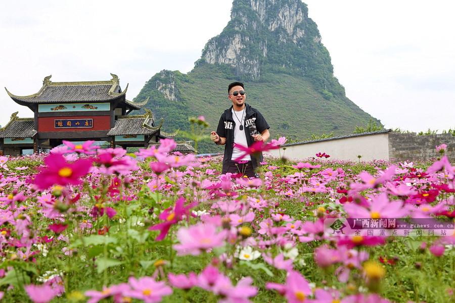 阳春三月,环江的这片格桑花美艳盛开迷人眼