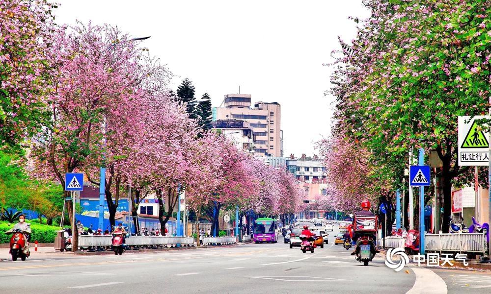 柳州:春暖花开 紫荆粉云绕满城(组图)