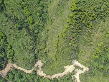 广西凌云:茶产业助农脱贫增收