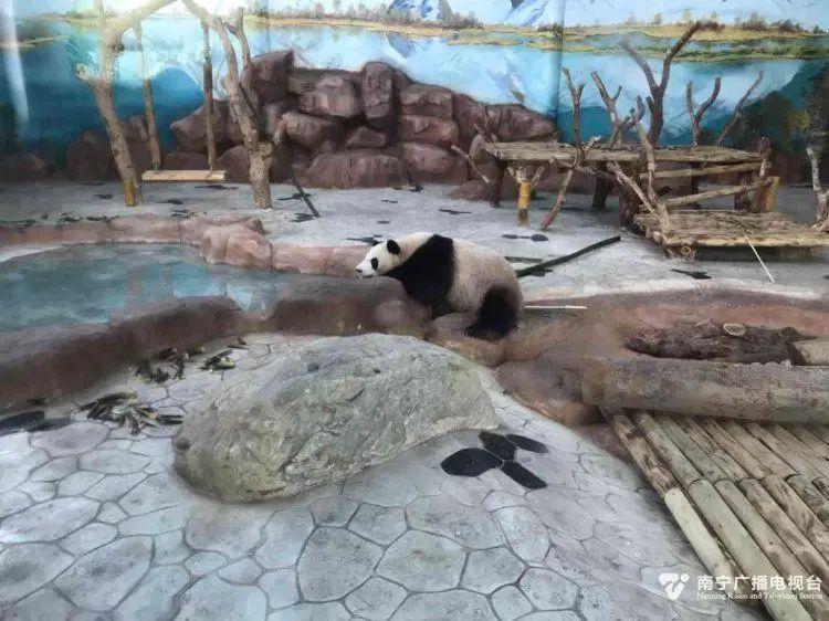"""南宁市动物园恢复开放啦!一起""""吸""""大熊猫去"""