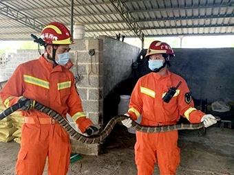 驚!2米長眼鏡蛇藏身雜物間