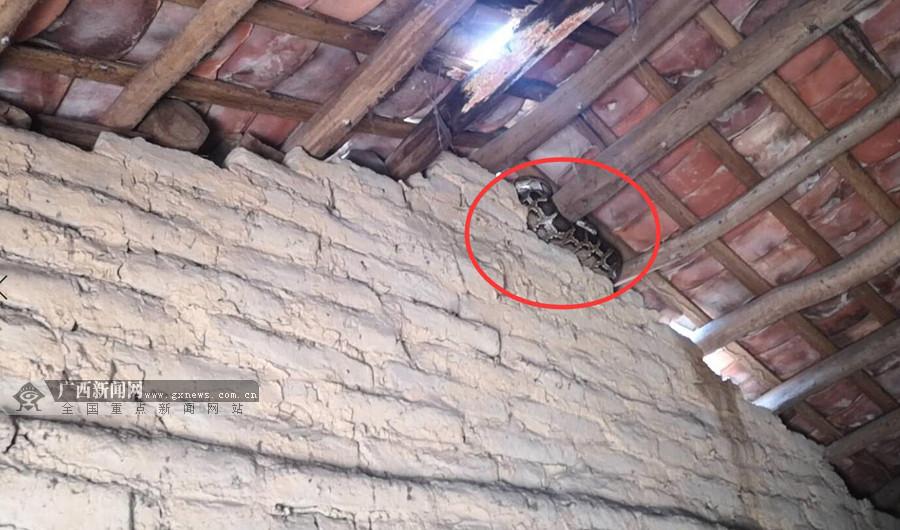 吓人!居民家中惊现3米长大蟒蛇 (组图)