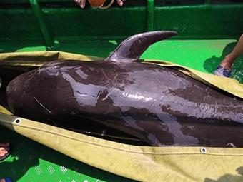 5月20日焦點圖:海豚擱淺北海內港 眾人合力營救