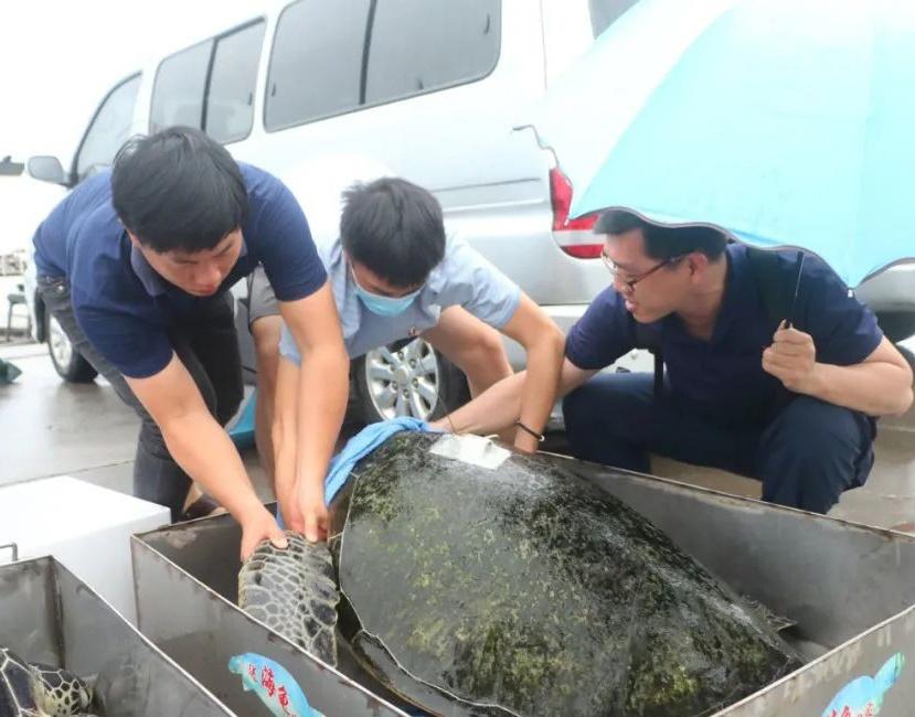 """海龜、玳瑁、中國鱟,十只海洋精靈""""回家""""了(組圖)"""