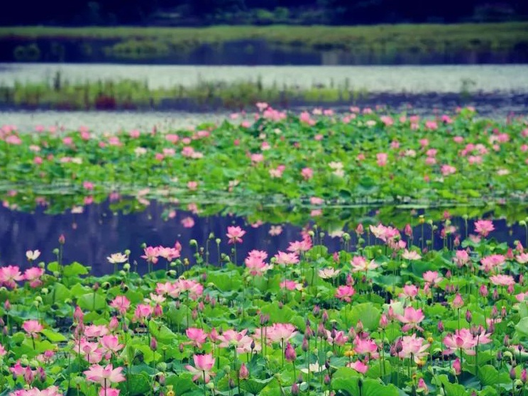 超美!陆川县龙珠湖百亩荷花盛开了,赶紧去打卡