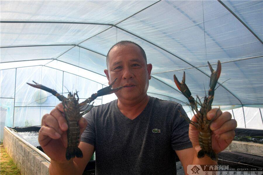 【乐业故事】大石山区养龙虾 好生态引来