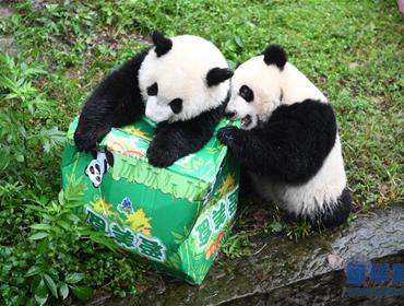 """重庆:大熊猫""""双重喜庆""""满周岁"""