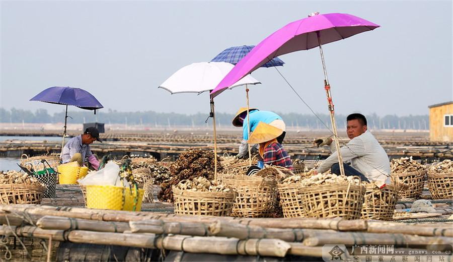 农行防城港分行支持海养特色产业发展