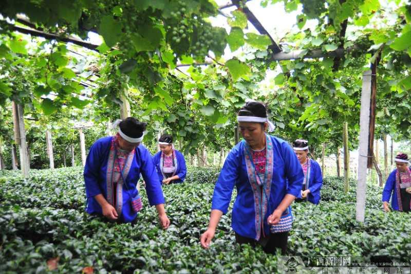 农业银行广西柳州三江县支行党建引领产业扶贫纪实