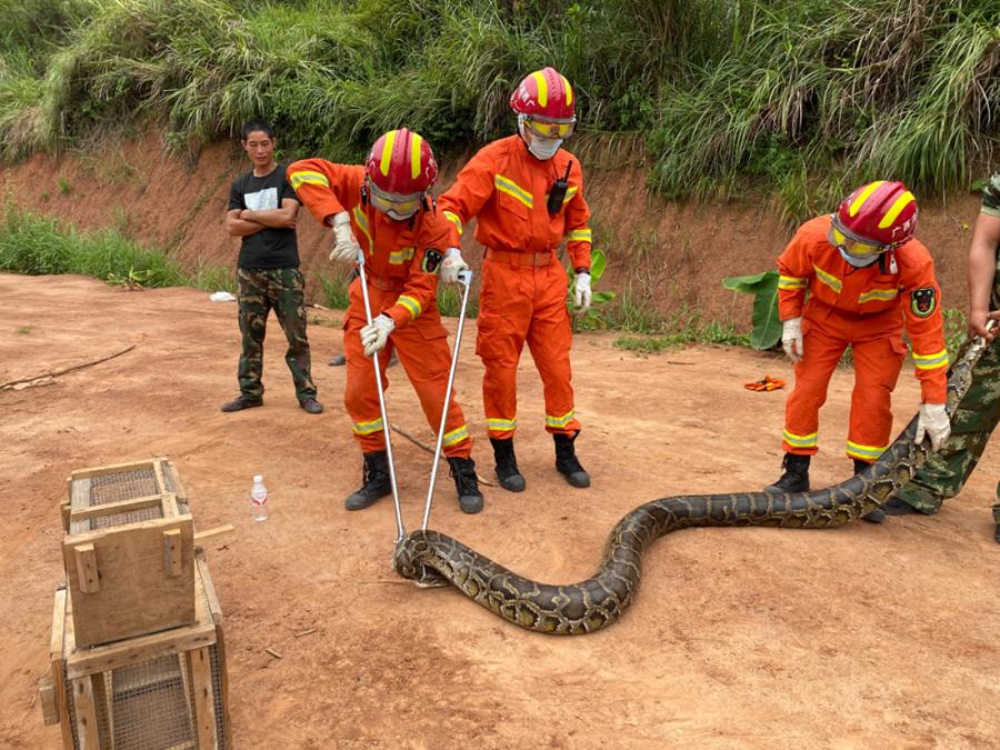 9月9日焦点图:吓人!南宁一养殖场惊现90多斤的大蟒蛇