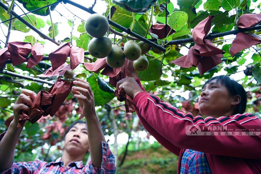 龙胜:水果种植富农家