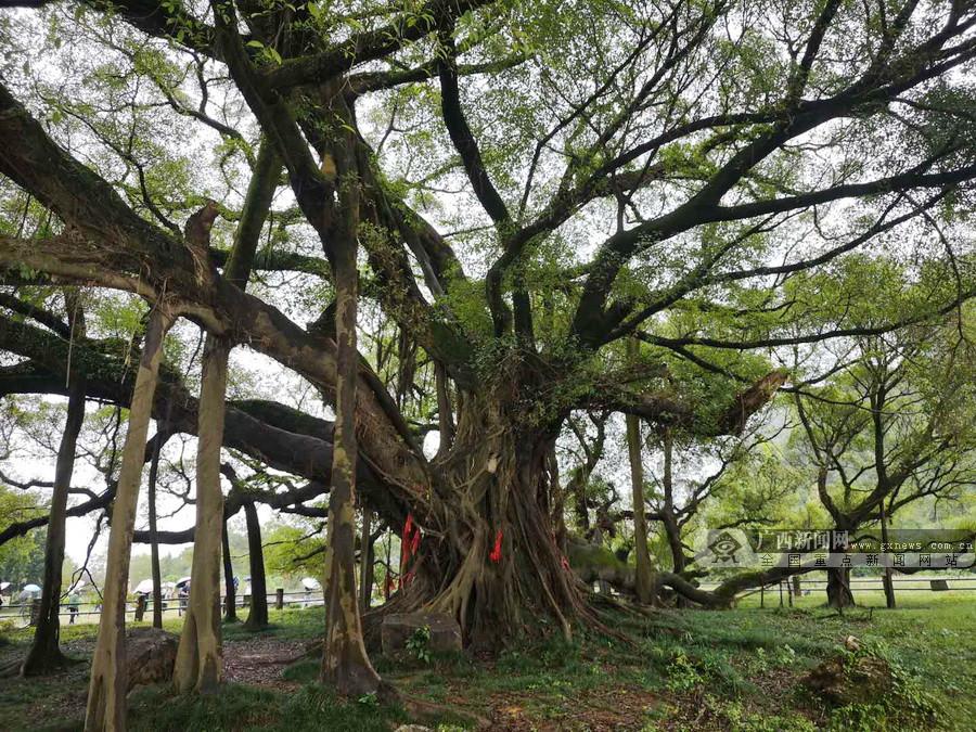 """桂林大榕树:大有""""来头""""""""看头""""和""""名头""""的一棵树"""