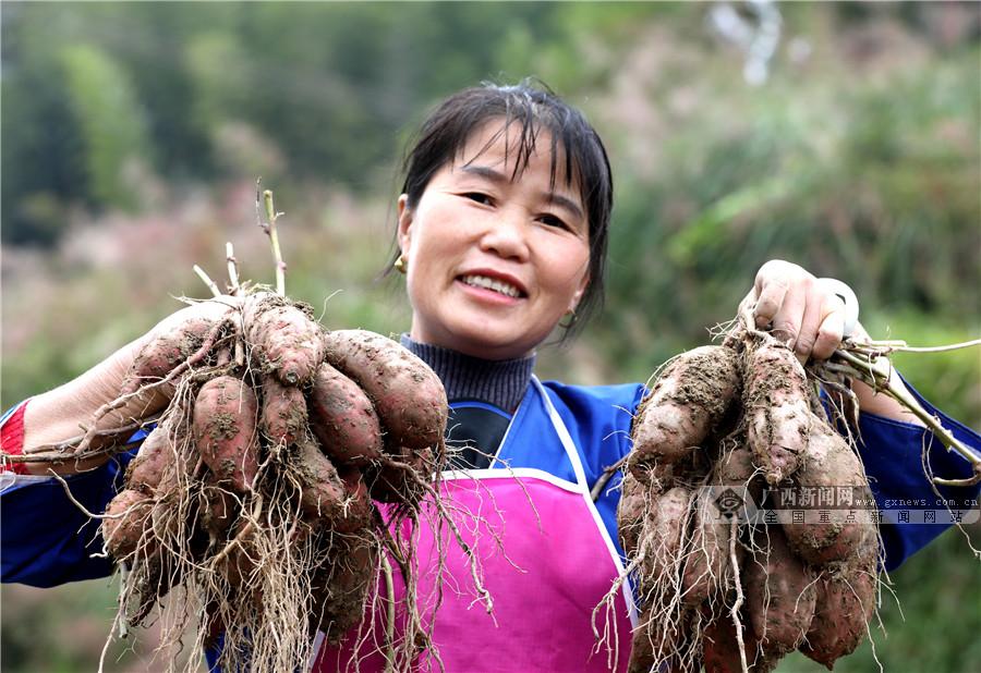 广西三江:高山侗寨红薯迎来丰收