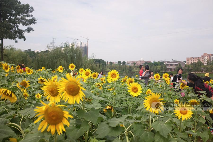 高清图集:南宁市江南公园向日葵热情绽放 美如画!