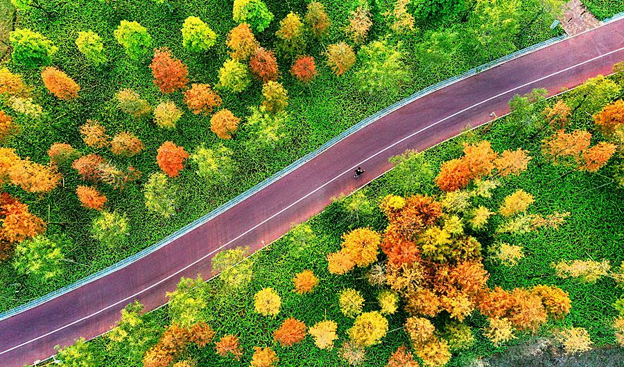 2020年12月11日焦點圖:邕江岸邊水杉成亮麗風景