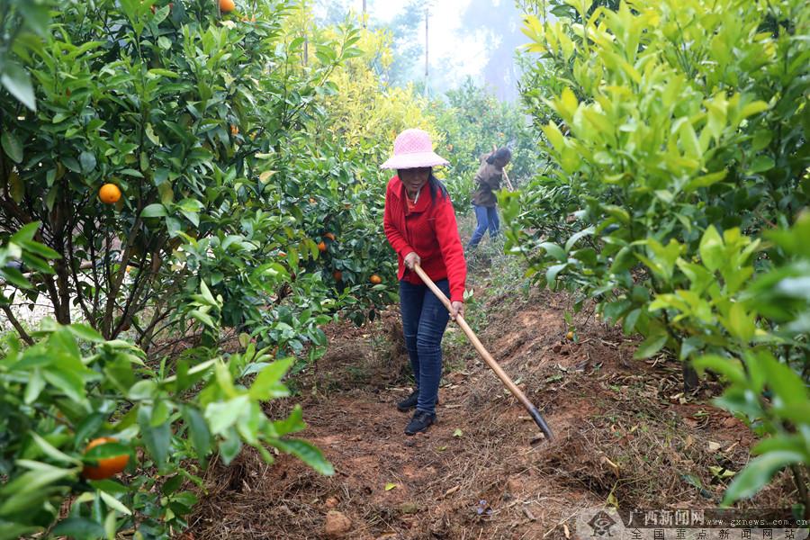 村民在沃柑果园劳作。通讯员 雷晓红 摄