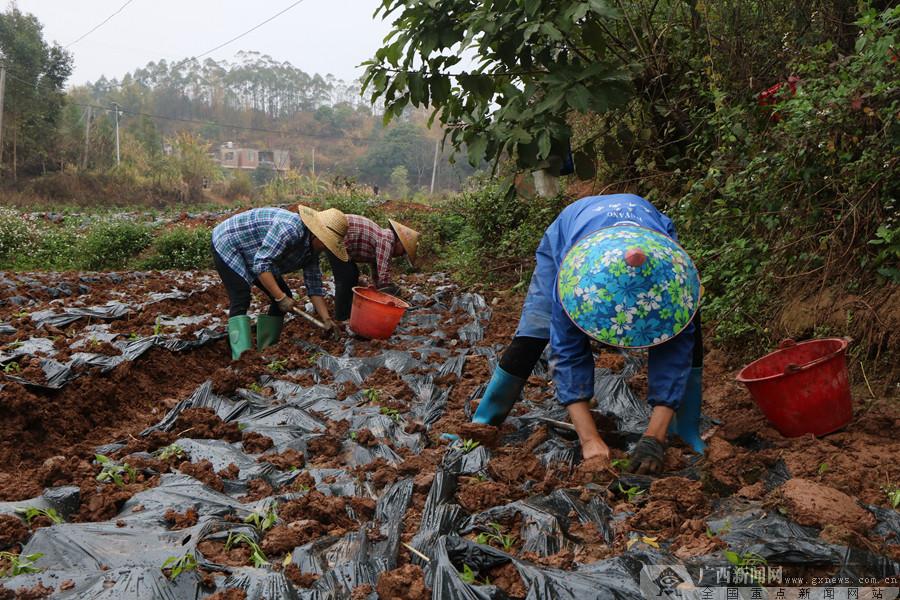 南宁市邕宁区:种植辣椒小产业 富民增收好门路
