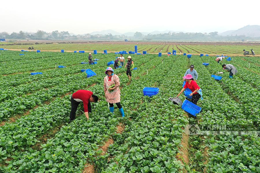 宁明县蔬菜丰收上市(图)