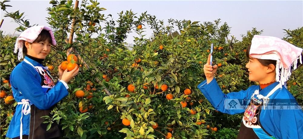 天天娱乐,天天娱乐大厅:南丹:种植黄金果 带动乡村游