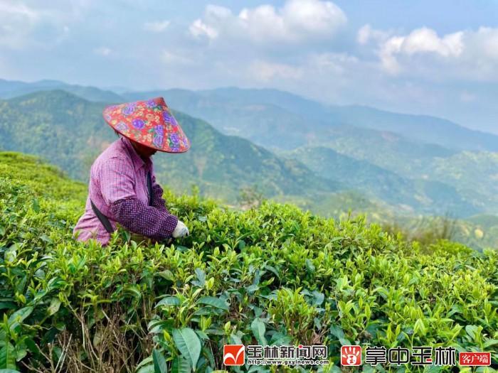 不施农药化肥 小镇种出好茶