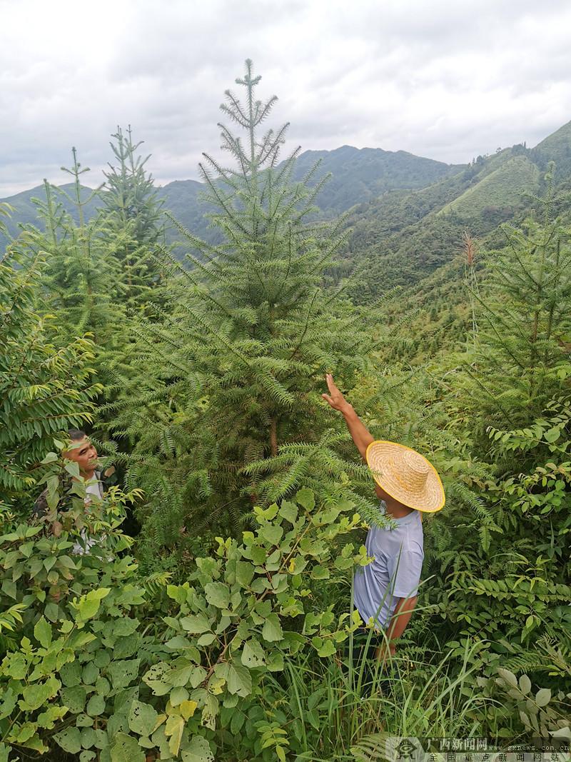 广西十措施高质量发展国家储备林