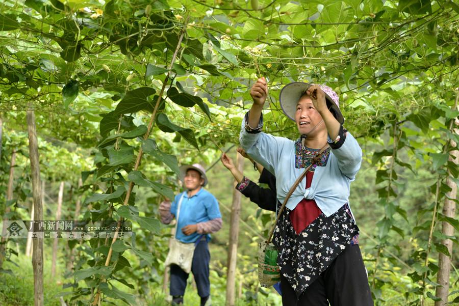 高清:三江发展罗汉果产业助农户增收