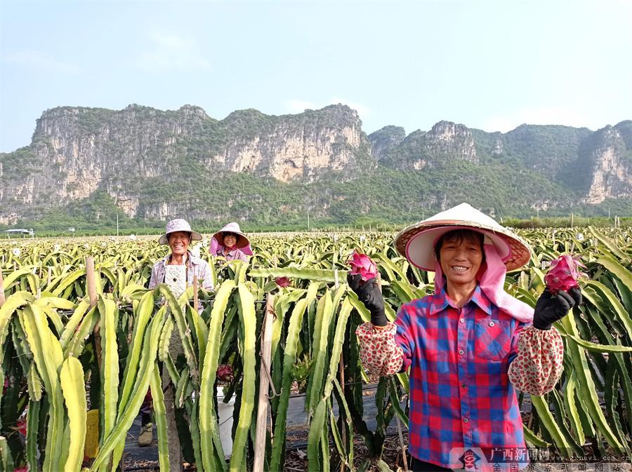上林:火龙果喜获丰收 村民日子越过越红火